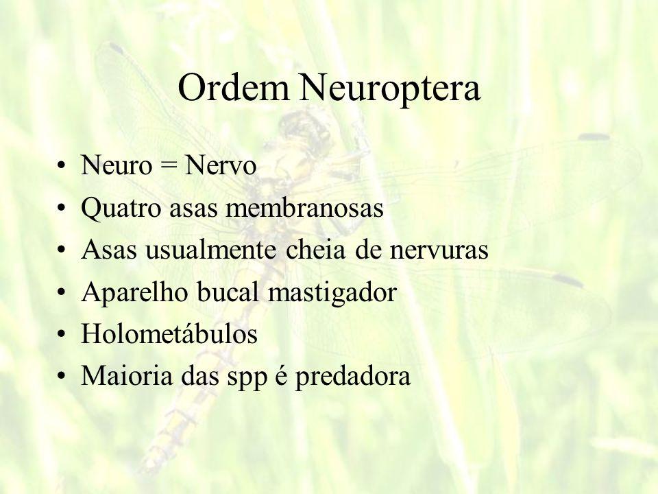 Ordem Neuroptera Neuro = Nervo Quatro asas membranosas