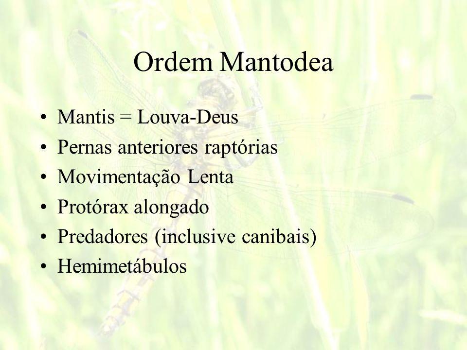 Ordem Mantodea Mantis = Louva-Deus Pernas anteriores raptórias