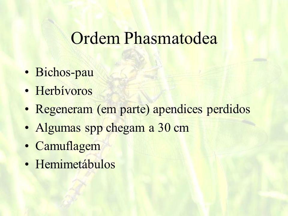 Ordem Phasmatodea Bichos-pau Herbívoros