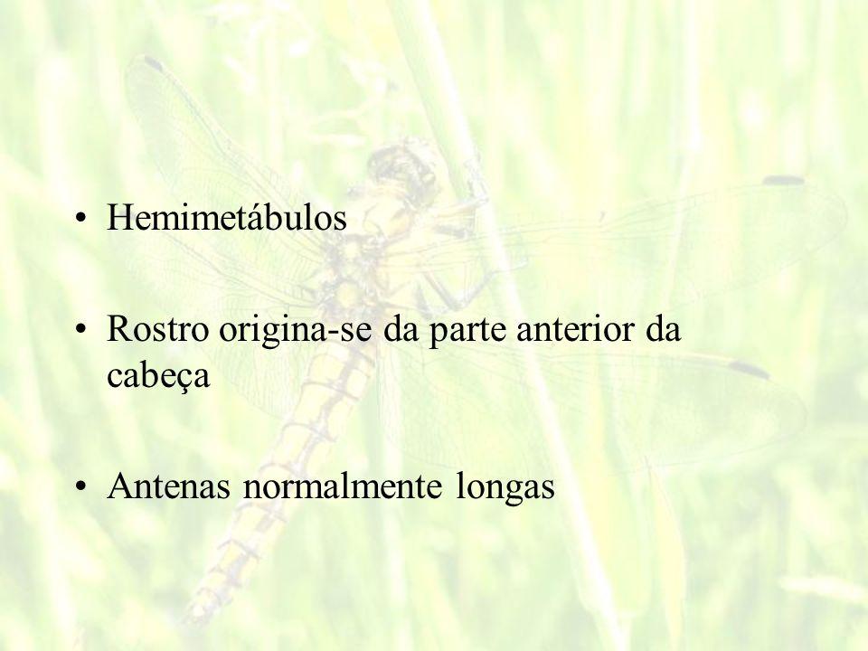 Hemimetábulos Rostro origina-se da parte anterior da cabeça Antenas normalmente longas