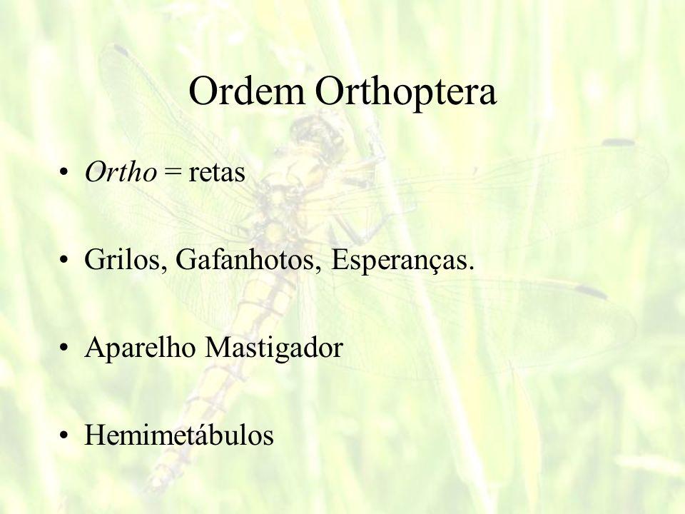 Ordem Orthoptera Ortho = retas Grilos, Gafanhotos, Esperanças.