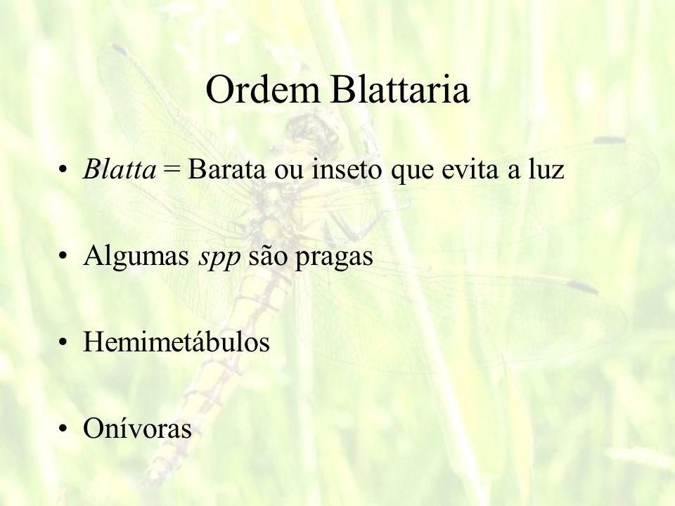 Ordem Blattaria Blatta = Barata ou inseto que evita a luz