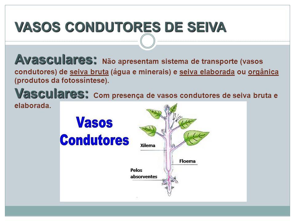 VASOS CONDUTORES DE SEIVA Avasculares: Não apresentam sistema de transporte (vasos condutores) de seiva bruta (água e minerais) e seiva elaborada ou orgânica (produtos da fotossíntese).