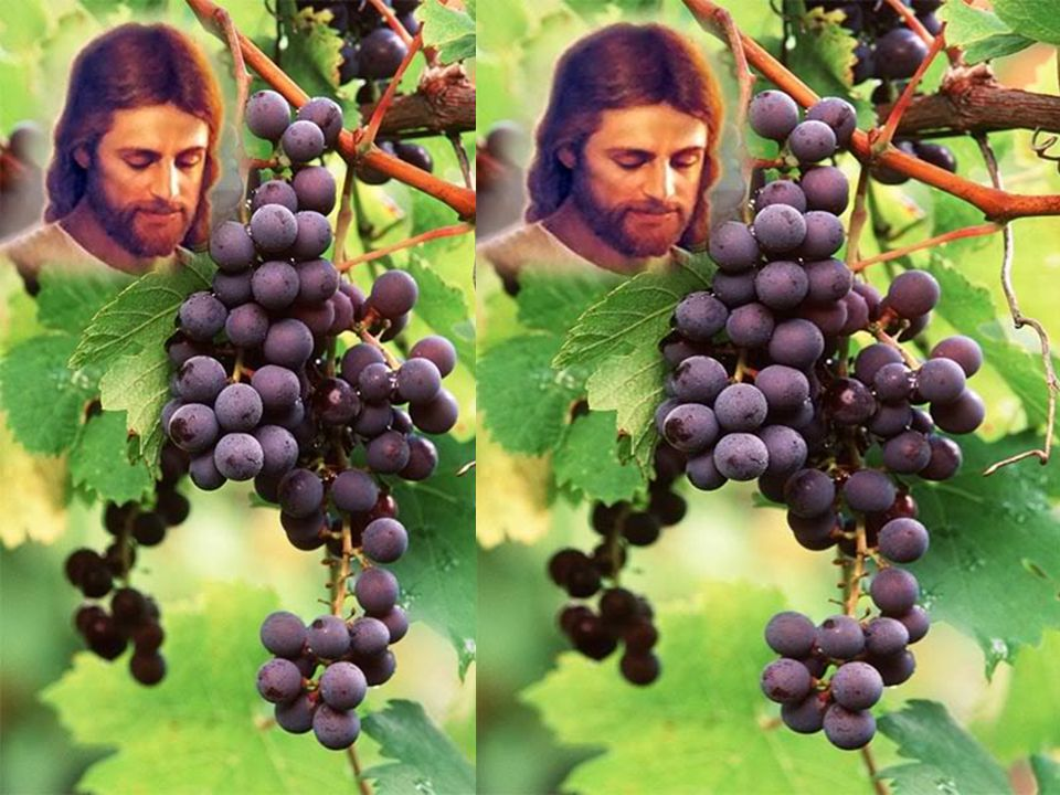 Eu Sou a Videira Cristo continua produzindo frutos, que agradam ao Pai, por meio. dos cristãos, que permanecem sempre unidos a Cristo.