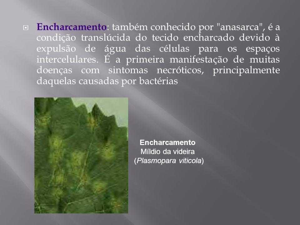 Encharcamento Míldio da videira (Plasmopara viticola)