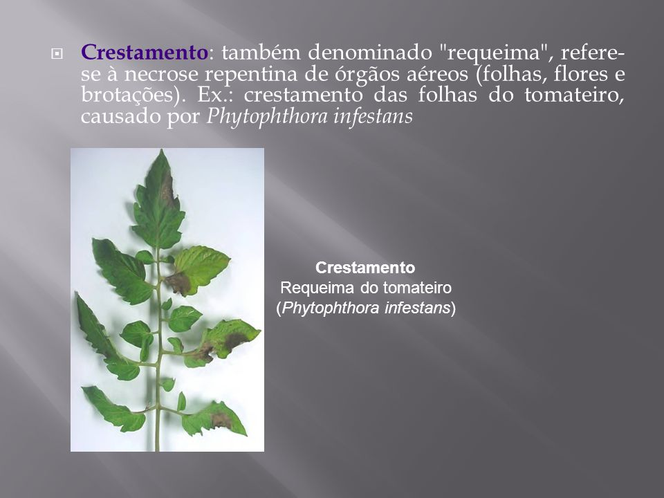 Crestamento Requeima do tomateiro (Phytophthora infestans)