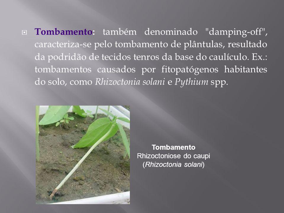 Tombamento Rhizoctoniose do caupi (Rhizoctonia solani)