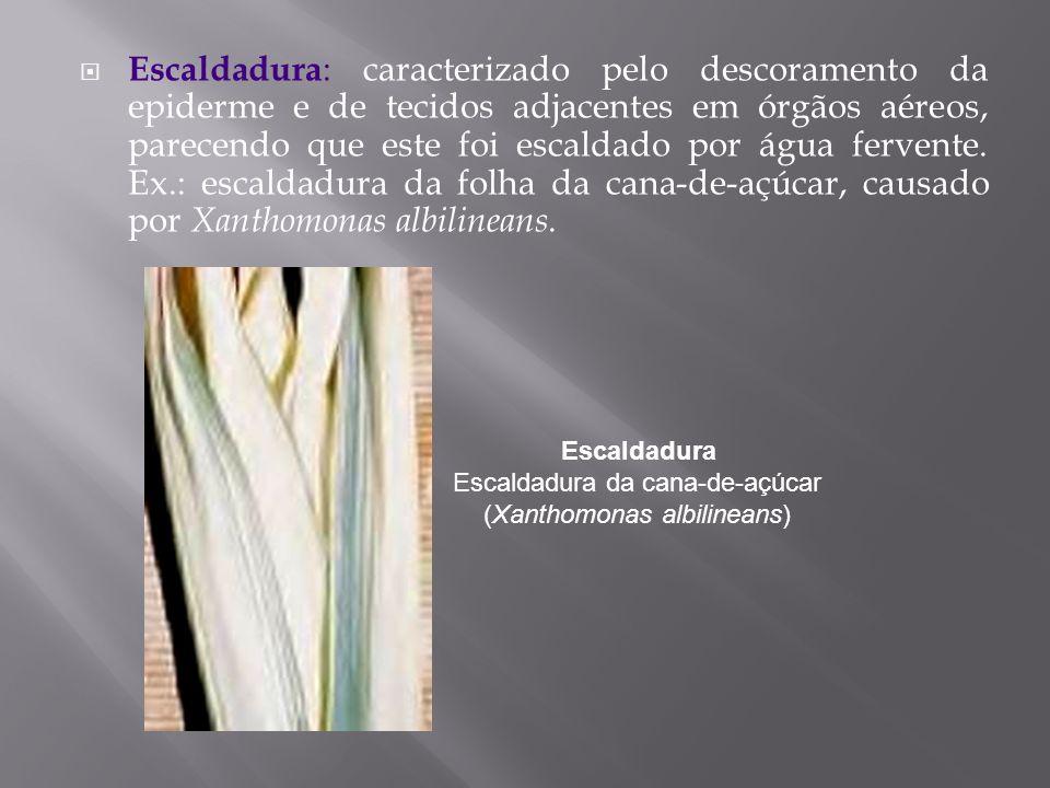 Escaldadura Escaldadura da cana-de-açúcar (Xanthomonas albilineans)