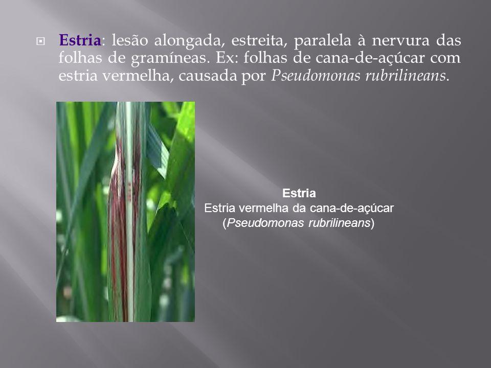 Estria Estria vermelha da cana-de-açúcar (Pseudomonas rubrilineans)