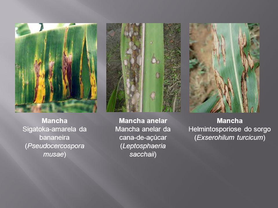 Mancha Sigatoka-amarela da bananeira (Pseudocercospora musae)