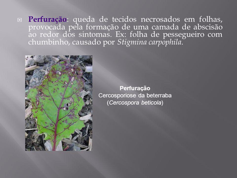 Perfuração Cercosporiose da beterraba (Cercospora beticola)
