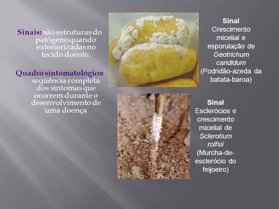 Sinal Crescimento micelial e esporulação de Geotrichum candidum (Podridão-azeda da batata-baroa)