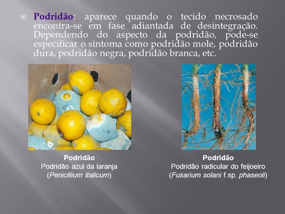 Podridão Podridão azul da laranja (Penicillium italicum)
