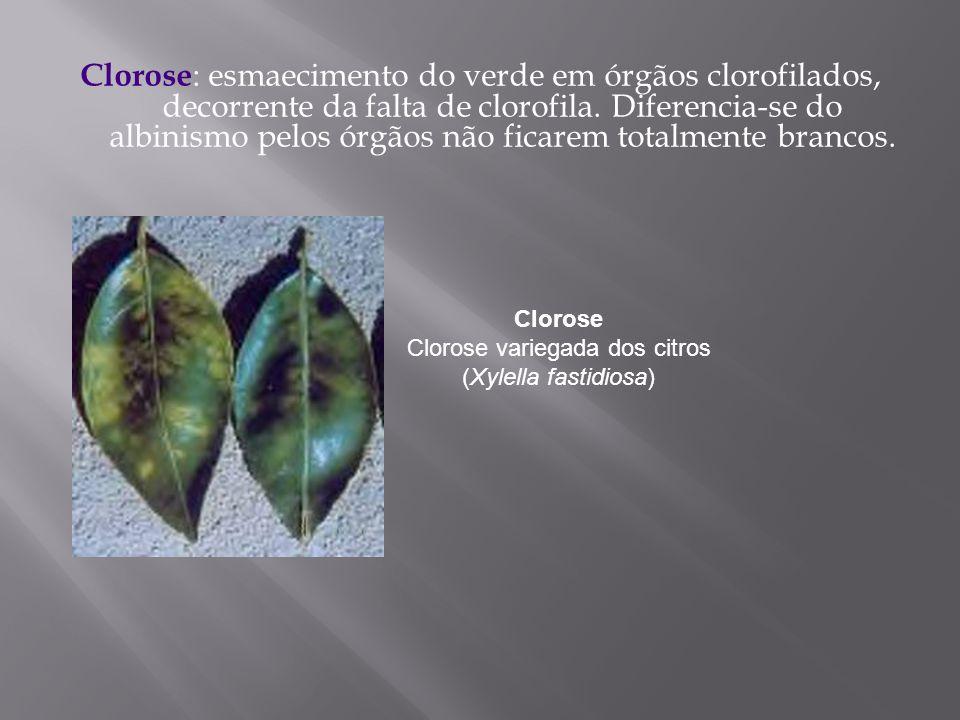 Clorose Clorose variegada dos citros (Xylella fastidiosa)