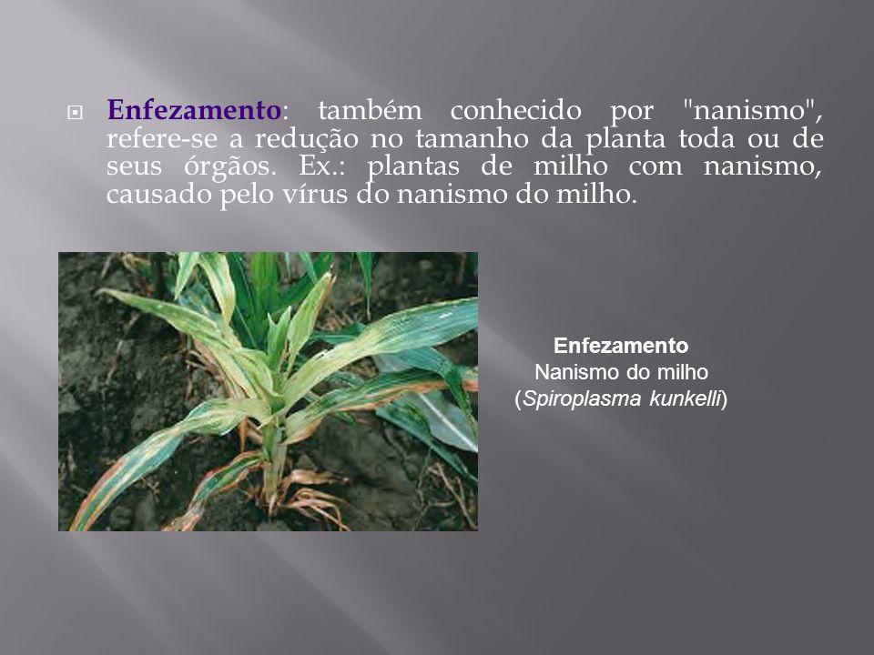 Enfezamento Nanismo do milho (Spiroplasma kunkelli)