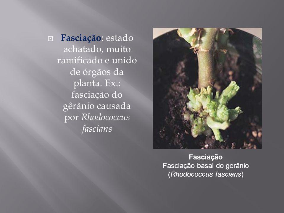 Fasciação Fasciação basal do gerânio (Rhodococcus fascians)