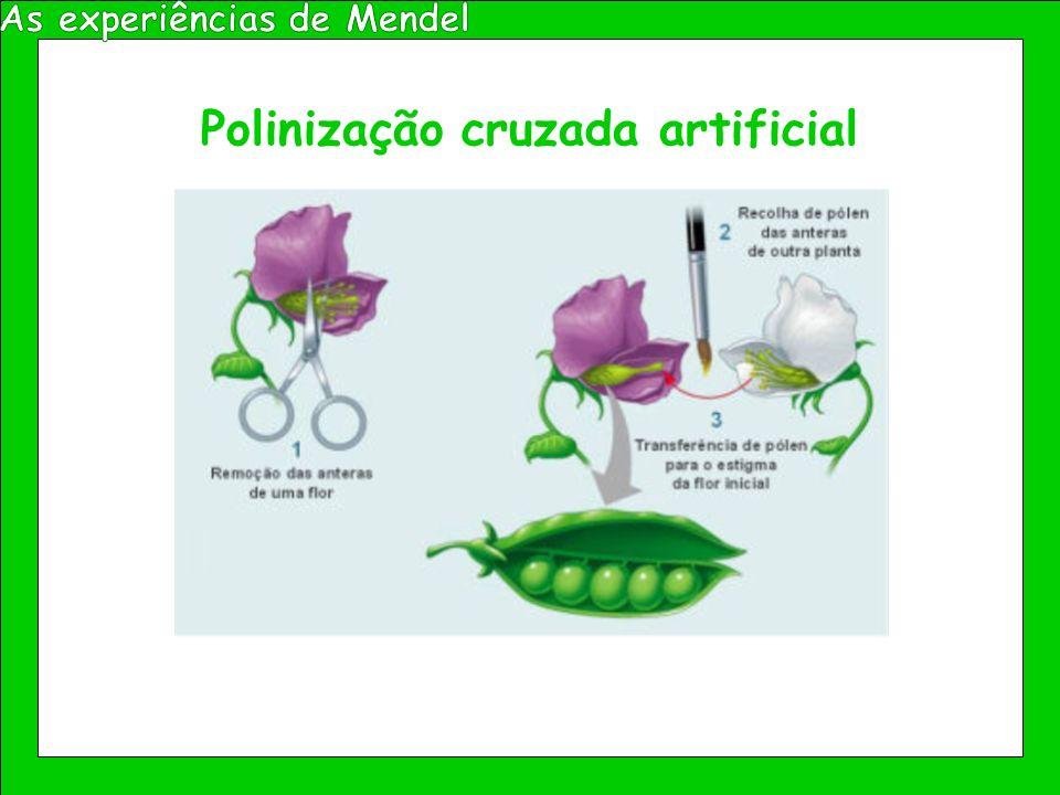 As experiências de Mendel Polinização cruzada artificial