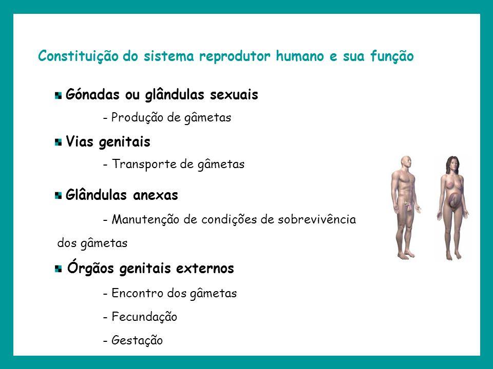 Constituição do sistema reprodutor humano e sua função