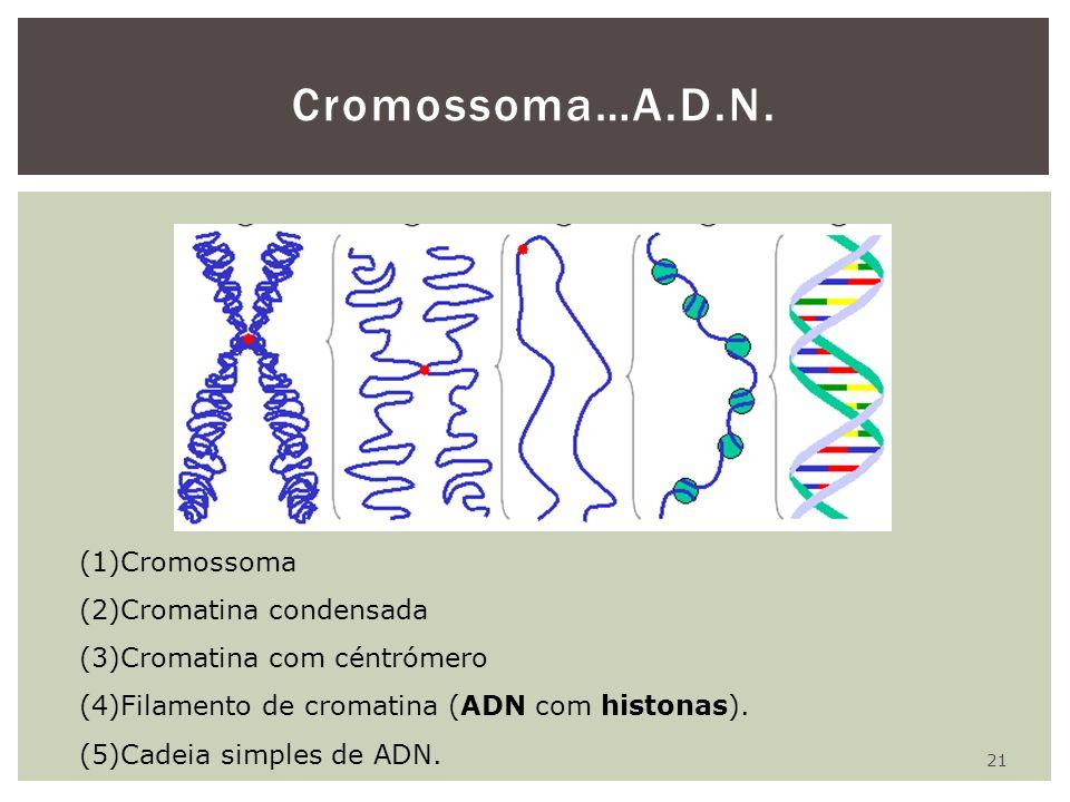 Cromossoma…A.D.N. Cromossoma Cromatina condensada