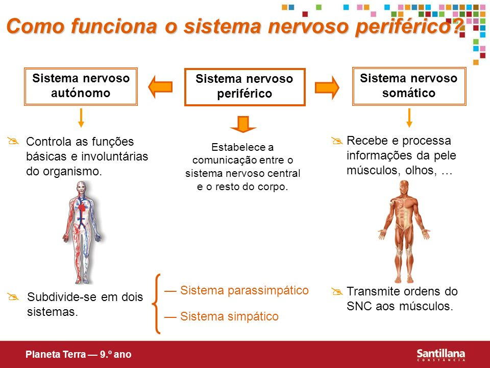 Como funciona o sistema nervoso periférico