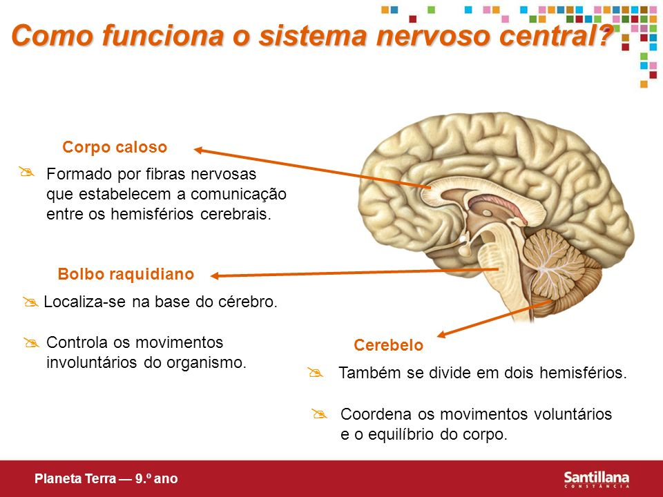 Como funciona o sistema nervoso central
