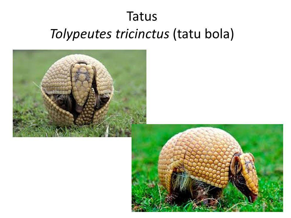 Tolypeutes tricinctus (tatu bola)