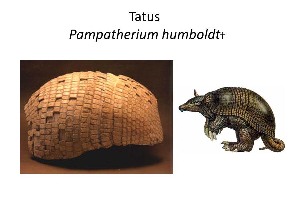 Pampatherium humboldt