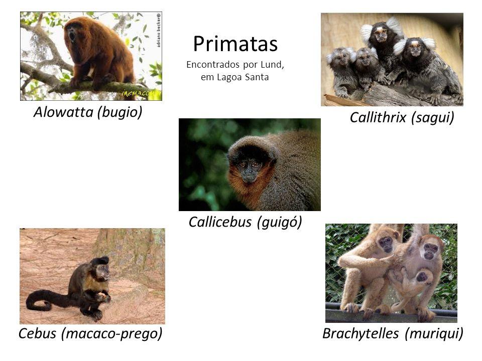 Primatas Alowatta (bugio) Callithrix (sagui) Callicebus (guigó)