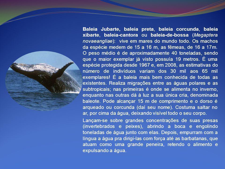 Baleia Jubarte, baleia preta, baleia corcunda, baleia xibarte, baleia-cantora ou baleia-de-bossa (Megaptera novaeangliae): vive em mares do mundo todo. Os machos da espécie medem de 15 a 16 m, as fêmeas, de 16 a 17m. O peso médio é de aproximadamente 40 toneladas, sendo que o maior exemplar já visto possuía 19 metros. É uma espécie protegida desde 1967 e, em 2008, as estimativas do número de indivíduos variam dos 30 mil aos 65 mil exemplares! É a baleia mais bem conhecida de todas as existentes. Realiza migrações entre as águas polares e as subtropicais; nas primeiras é onde se alimenta no inverno, enquanto nas outras dá à luz a sua única cria, denominada baleote. Pode alcançar 15 m de comprimento e o dorso é arqueado ou corcunda (daí seu nome). Costuma saltar no ar, por cima da água, deixando visível todo o seu corpo.