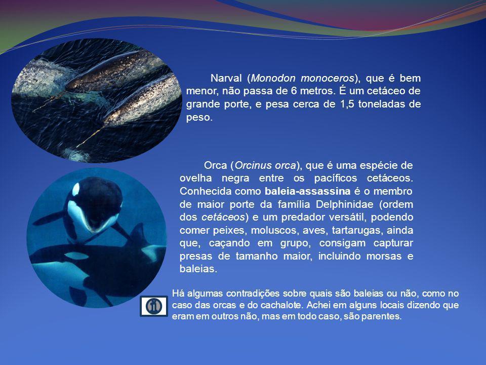 Narval (Monodon monoceros), que é bem menor, não passa de 6 metros