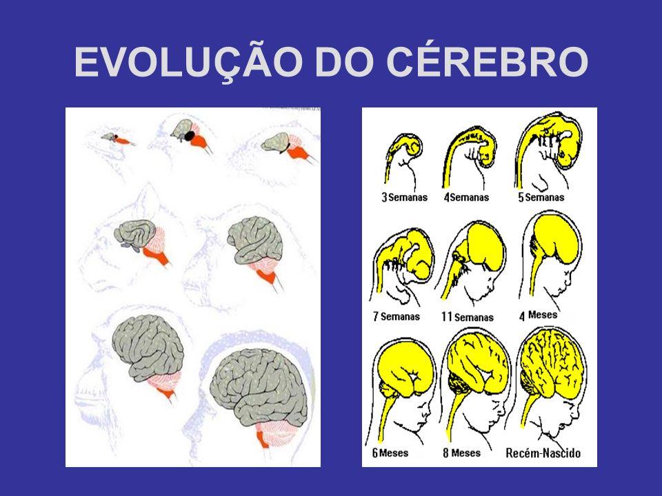 EVOLUÇÃO DO CÉREBRO -