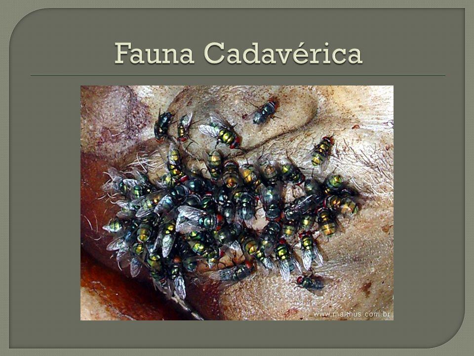 Fauna Cadavérica