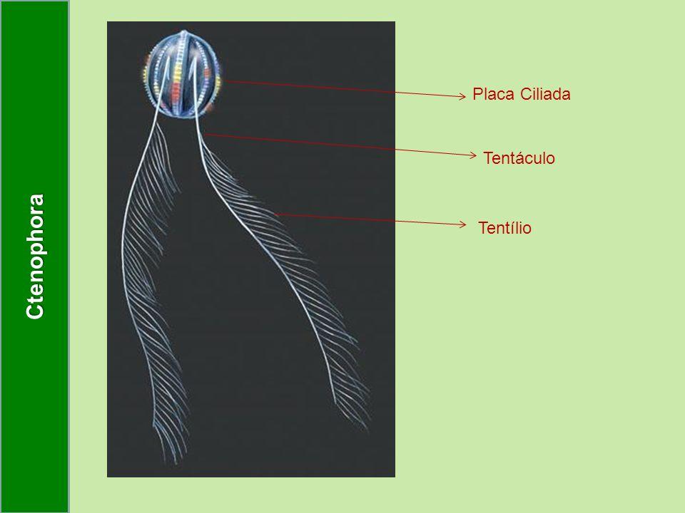 Ctenophora Placa Ciliada Tentáculo Tentílio