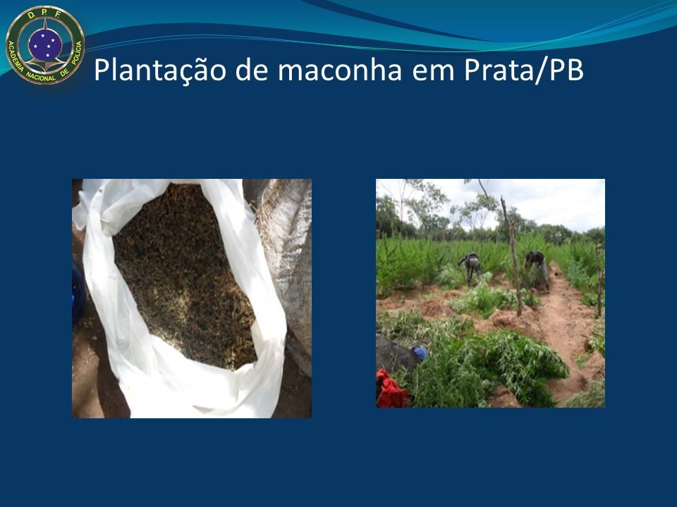 Plantação de maconha em Prata/PB