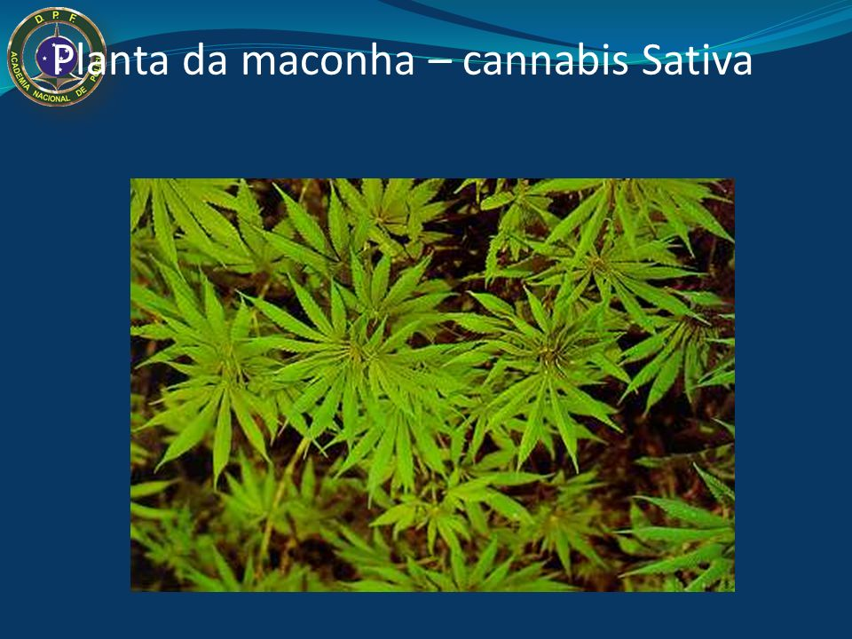 Planta da maconha – cannabis Sativa