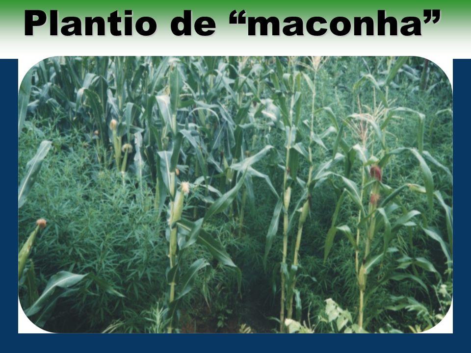Plantio de maconha