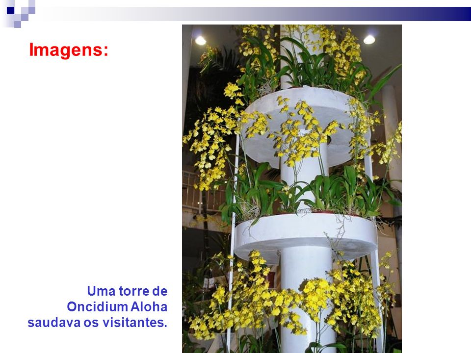Imagens: Uma torre de Oncidium Aloha saudava os visitantes.