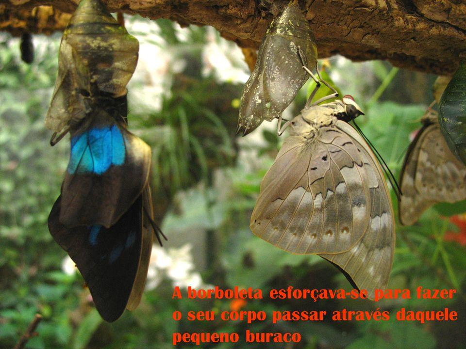 A borboleta esforçava-se para fazer o seu corpo passar através daquele pequeno buraco