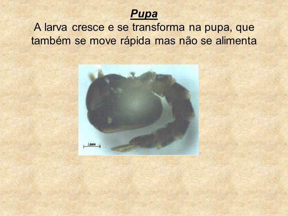 Pupa A larva cresce e se transforma na pupa, que também se move rápida mas não se alimenta