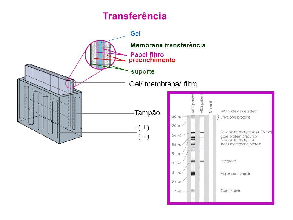 Transferência Gel/ membrana/ filtro Tampão ( +) ( - ) Gel