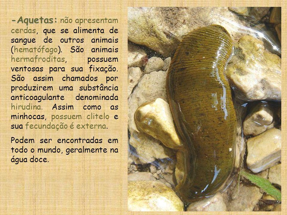-Aquetas: não apresentam cerdas, que se alimenta de sangue de outros animais (hematófago). São animais hermafroditas, possuem ventosas para sua fixação. São assim chamados por produzirem uma substância anticoagulante denominada hirudina. Assim como as minhocas, possuem clitelo e sua fecundação é externa.