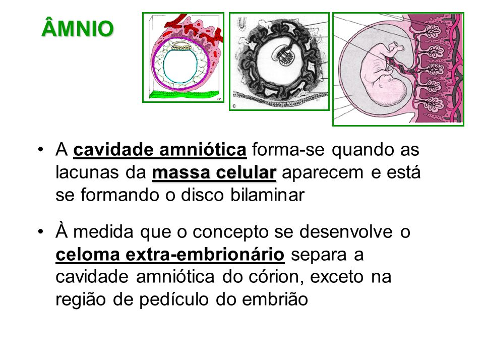 ÂMNIO A cavidade amniótica forma-se quando as lacunas da massa celular aparecem e está se formando o disco bilaminar.