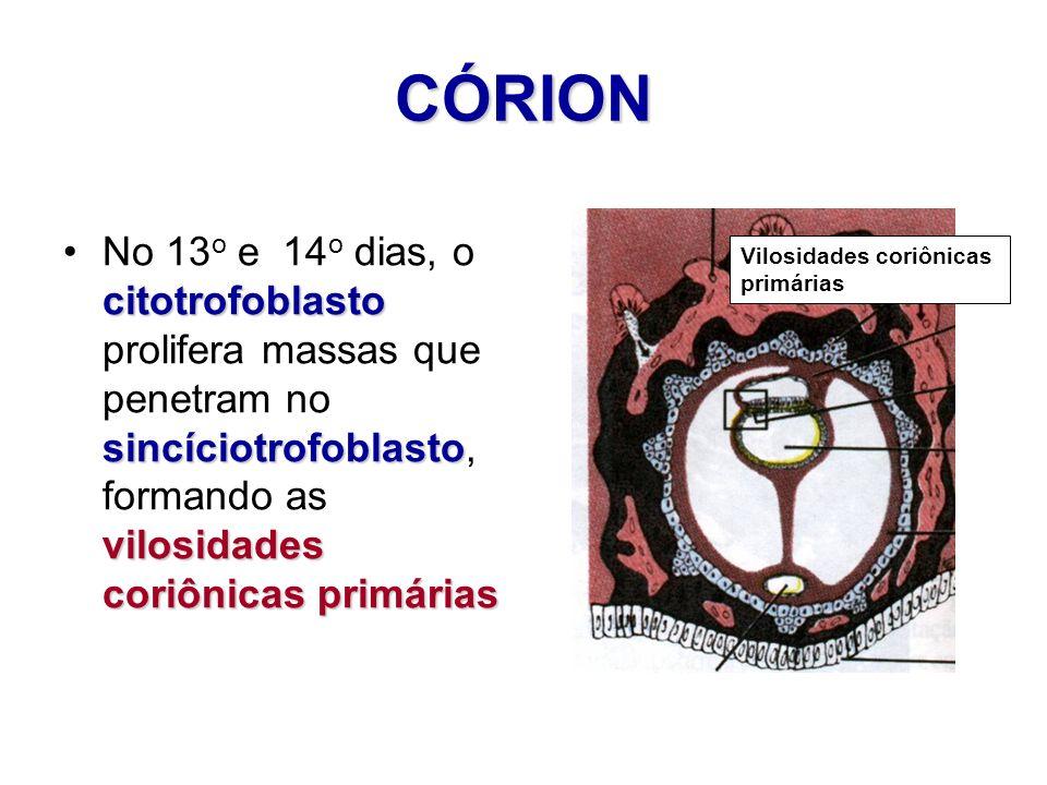 CÓRIONNo 13o e 14o dias, o citotrofoblasto prolifera massas que penetram no sincíciotrofoblasto, formando as vilosidades coriônicas primárias.