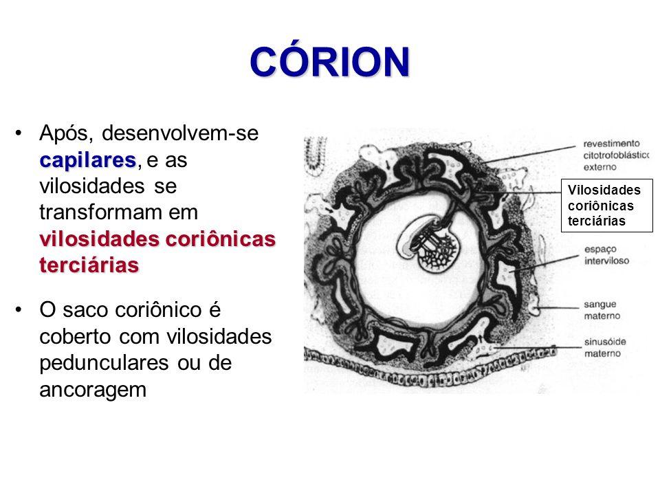 CÓRION Após, desenvolvem-se capilares, e as vilosidades se transformam em vilosidades coriônicas terciárias.