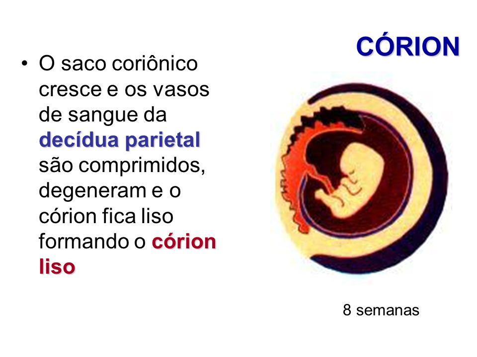 CÓRION O saco coriônico cresce e os vasos de sangue da decídua parietal são comprimidos, degeneram e o córion fica liso formando o córion liso.