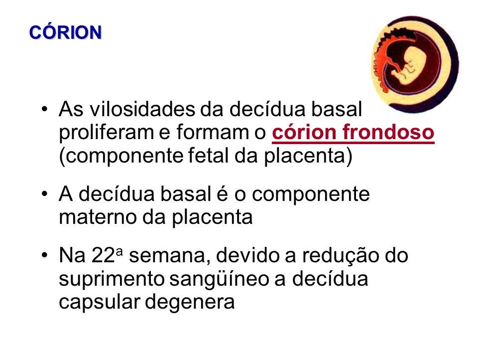 A decídua basal é o componente materno da placenta