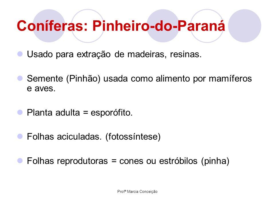 Coníferas: Pinheiro-do-Paraná