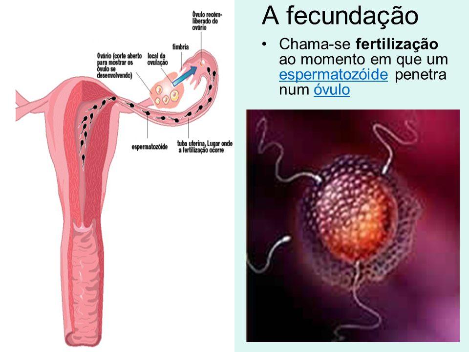 A fecundação Chama-se fertilização ao momento em que um espermatozóide penetra num óvulo