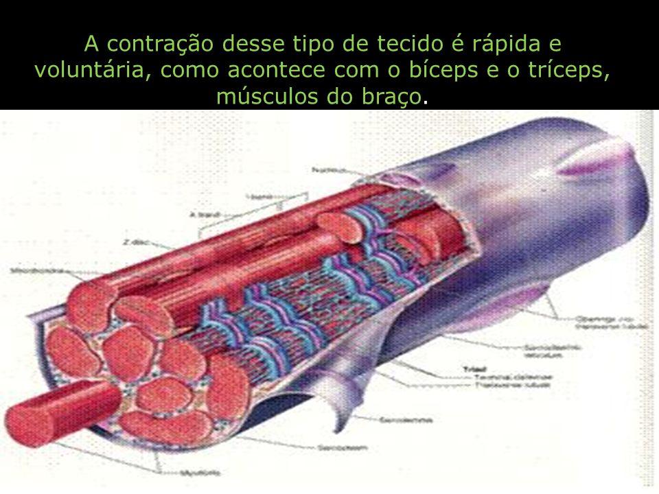 A contração desse tipo de tecido é rápida e voluntária, como acontece com o bíceps e o tríceps, músculos do braço.