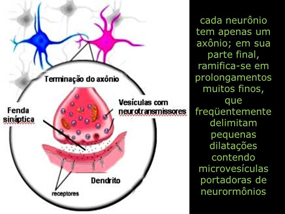 cada neurônio tem apenas um axônio; em sua parte final, ramifica-se em prolongamentos muitos finos, que freqüentemente delimitam pequenas dilatações contendo microvesículas portadoras de neurormônios